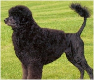 The Portuguese Water Dog Dog Breed