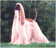 The Afghan Hound Dog Breed